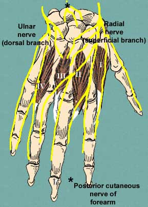 nerves of dorsum of hand