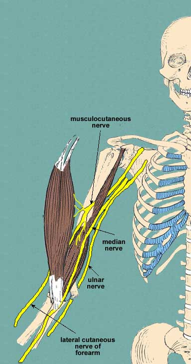 nerves of anterior arm compartment