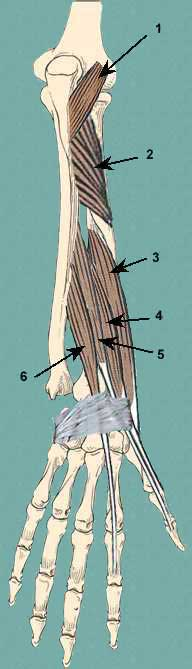 deep extensor muscles of forearm