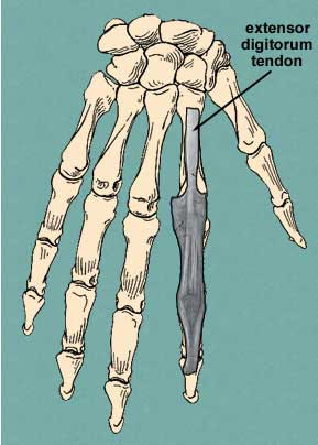 dorsal view of extensor expansion