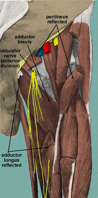 leg muscles Nick Growden - Anatomy And Physiology with ... |Adductor Brevis Cadaver